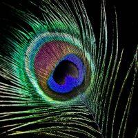 Shamanish_peacock feather_700x700C